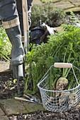 Woman harvesting white carrots in organic garden
