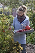 Woman harvesting the last fruit vegetables in organic garden