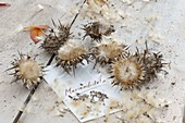 Harvest seeds of milk thistle