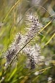 Dewy blossom of Pennisetum (spring-bird grass) in the morning