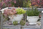 Autumn in nostalgic pots on the bench Oenothera 'African Sun'