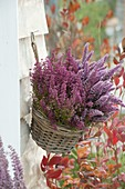Basket with Erica gracilis (pot Erica) hung on the wall