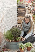 Winter herbs in zinc tub
