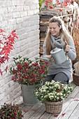 Woman watering Skimmia japonica 'Kew White' and 'Winnie Dwarf'