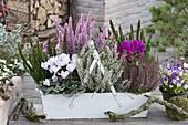 White box with Calluna vulgaris Garden Girls, Skyline 'Stockholm' green