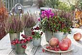Calluna vulgaris Garden Girls 'Liliane'