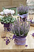 Autumn table decoration in the room Calluna Garden Girls 'Hilda'