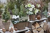 Copper pots with Helleborus niger, Picea glauca 'Conica'