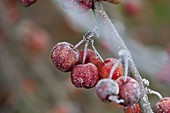 Frosted malus (ornamental apple) on branch