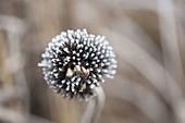 Frozen Seed of Echinacea (Coneflower)