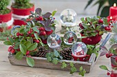 Wooden tray with Gaultheria procumbens, snow globes