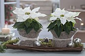 Euphorbia pulcherrima 'Princettia weiss' (Weihnachtssterne)