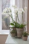Phalaenopsis (Malayenblume, Schmetterlingsorchidee) und Oxalis deppei
