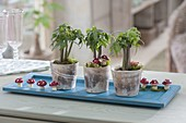 Oachira aquatica, mini plants on wooden coasters