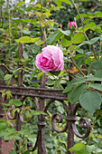 Rosa 'Gertrude Jekyll', fragrant, robust, often blooming at the old iron fence