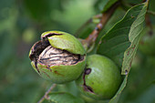 Walnut opening (Juglans regia) on the tree