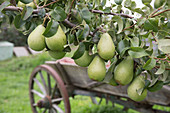 Pear 'Countess of Paris', well storable winter pear