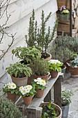Terracotta pots with sage 'Icterina', Primula acaulis
