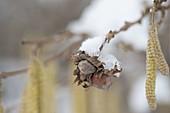 Corylus avellana (hazelnut) in early spring