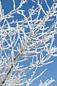 Thick rime-coated branches