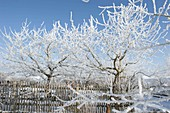 Thick rime-coated apple trees (Malus)