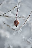 Frozen Rosehip (Rosa) with rime crystals