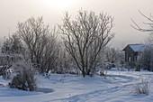 Track through the snowy garden, shrubs, perennials and grasses