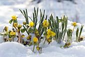 Eranthis hyemalis (winter aconite) in the snow