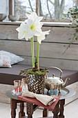 Hippeastrum 'Arctic White' (Amaryllis) in mosaic pot