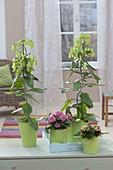 Kalanchoe 'Magic Bells' with green bellflowers and k. blossfeldiana