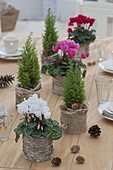 Winter table decoration with Cyclamen and Chamaecyparis