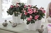 Rhododendron simsii (room azalea) with white cake tip