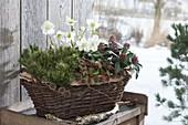 Winter hardy planted basket with Pinus, Helleborus niger