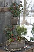 Winter hardy planted wooden vats-Ilex aquifolium, Pinus mugo
