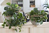 Shadow-friendly office planting, Philodendron scandens