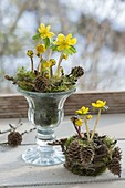 Eranthis hyemalis with moss and cones in wineglass and moss pot