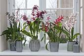 Orchids at Window Odontonia 'Samurai', Colmanara Wildcat 'Bobcat'