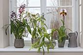 Parthypot Plants Colmanara Wildcat 'Bobcat' window