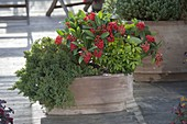Terracotta box with Skimmia japonica 'Temptation'