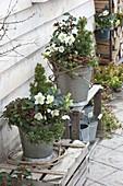 Zinc bucket winterly planted-Helleborus niger, Ilex