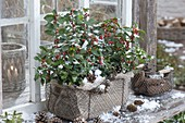 Ilex meservae 'Blue Angel' (Holly) in a wire basket as a box
