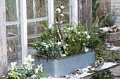 Tin box with conifers planted in front of the greenhouse window