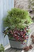 Pine nigra 'Spielberg', Leucothoe walteri 'Zeblid'