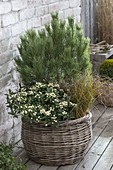 Basket with winter hardy planted Pinus, Skimmia japonica 'Kew White'