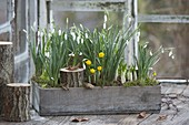 Early spring in the greenhouse, Galanthus, Eranthis