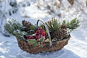 Basket with branches of Pinus cembra, Skimmia