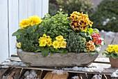 Wooden bowl with primula acaulis, thyme and oregano