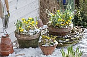 Pot arrangement with Eranthis hyemalis, Galanthus nivalis