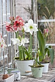Hippeastrum 'Charisma' and 'Arctic White' in enamelled tin buckets