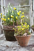 Clay pots with Eranthis hyemalis and Galanthus nivalis